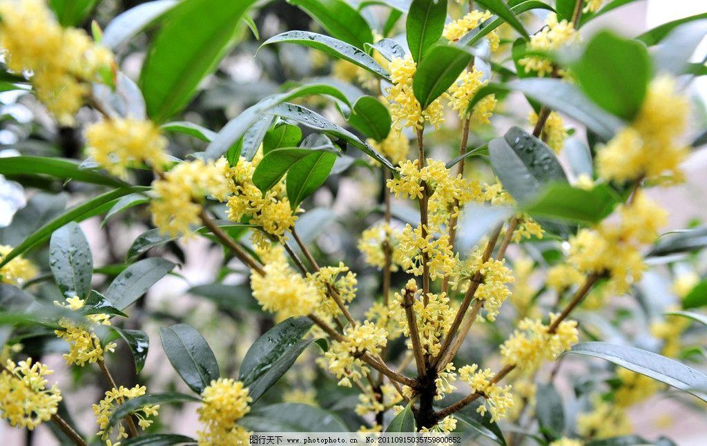 八月桂花香郁浓 桂花 花香 黄花 黄色 景观树 花草 生物世界 摄影 300