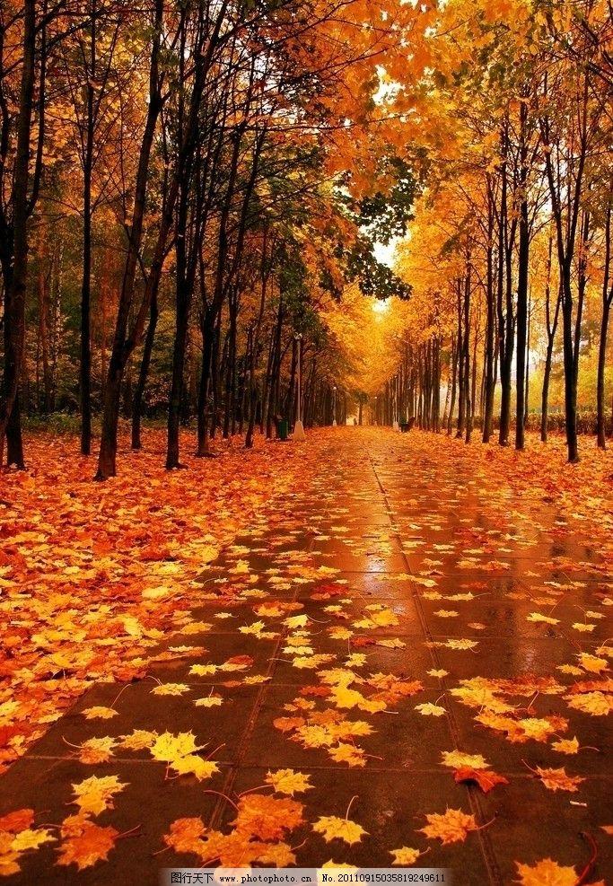 金秋 枫叶 红枫叶 红叶 落叶 秋季 秋天 秋叶 秋枫 枫叶树 树木树叶