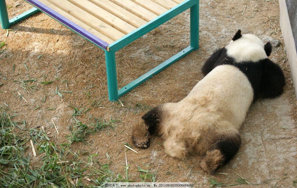 熊猫 野生动物 生物世界 摄影