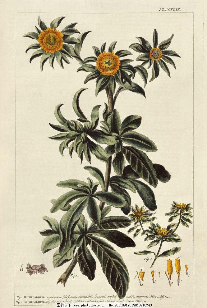 手绘花卉花朵背景 手绘 线描 花卉 向日葵 花朵 花纹 叶子 纹样 古典