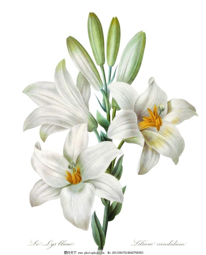 手绘百合 手绘花纹花卉