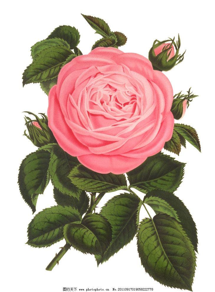 手绘玫瑰 手绘花纹花卉 手绘花卉 玫瑰花 月季花 花卉 绘画 绘画书法