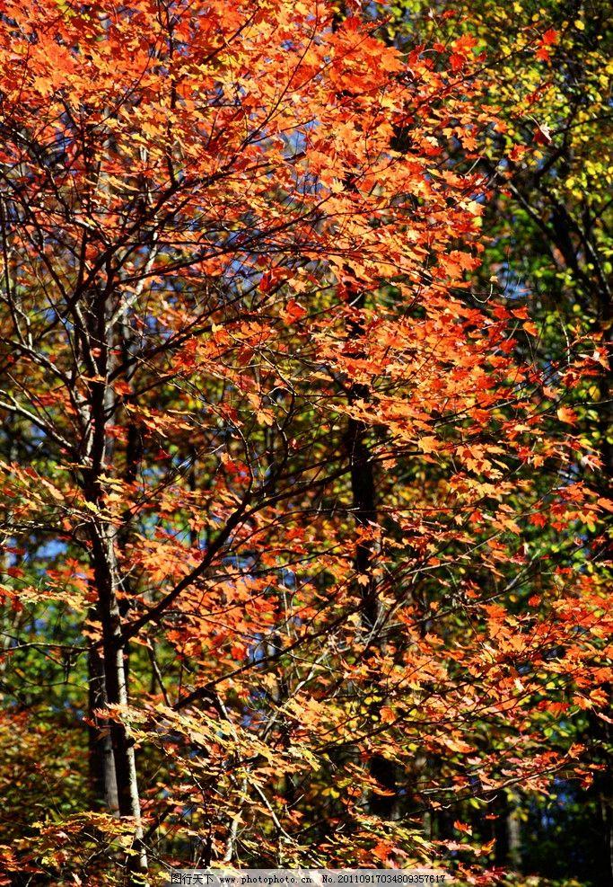 枫树 枫叶 红枫叶 红叶 落叶 秋季 秋天 秋叶 深秋 金秋 自然风光