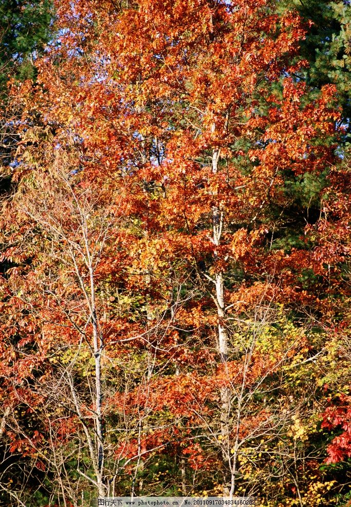 深秋 枫叶 金秋 枫树 红枫叶 枯树叶 红叶 落叶 秋季 秋天 秋叶 自然