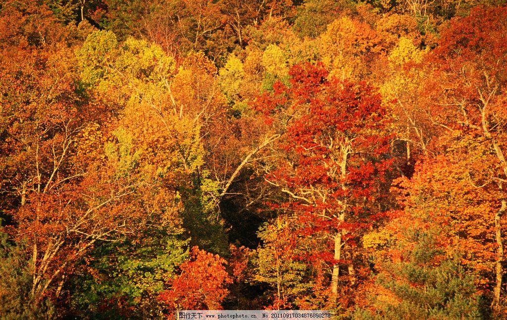 深秋 枫叶 金秋 枫树 红枫叶 枯叶 红叶 落叶 秋季 秋天 秋叶 自然