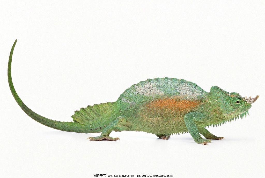 变色龙 爬行动物 野生动物 生物世界 摄影