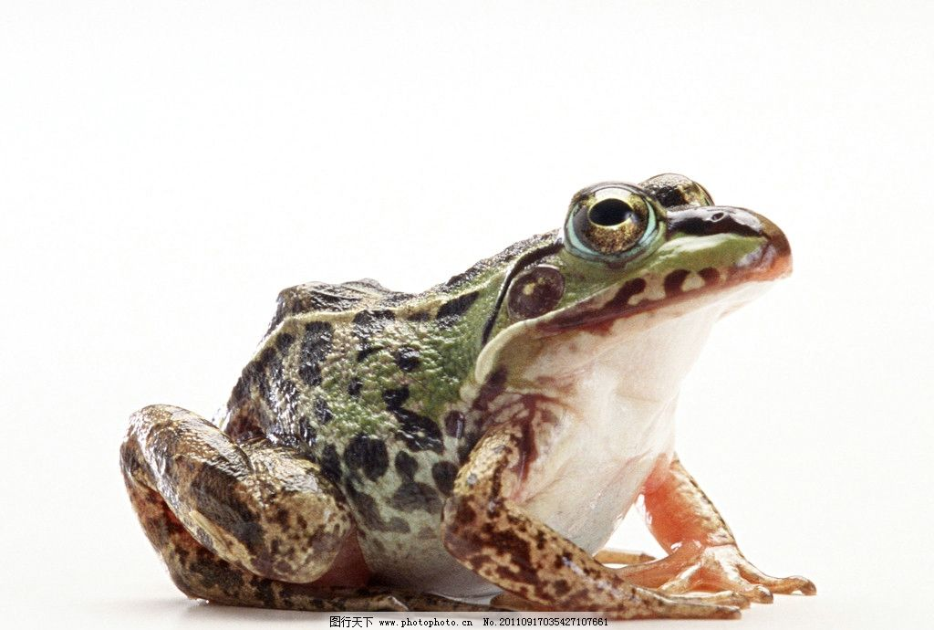 青蛙 牛蛙 花纹 大眼睛 爬行动物 摄影
