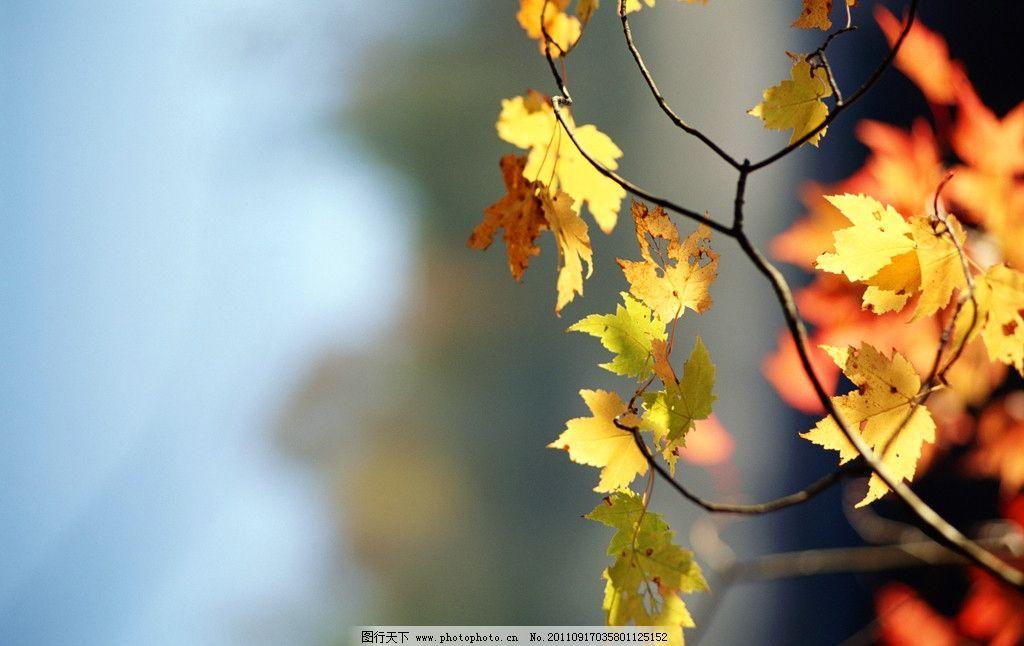 枫叶 树叶 树林 枫叶树 落叶 树木 叶子 红叶 火红的叶子 秋天