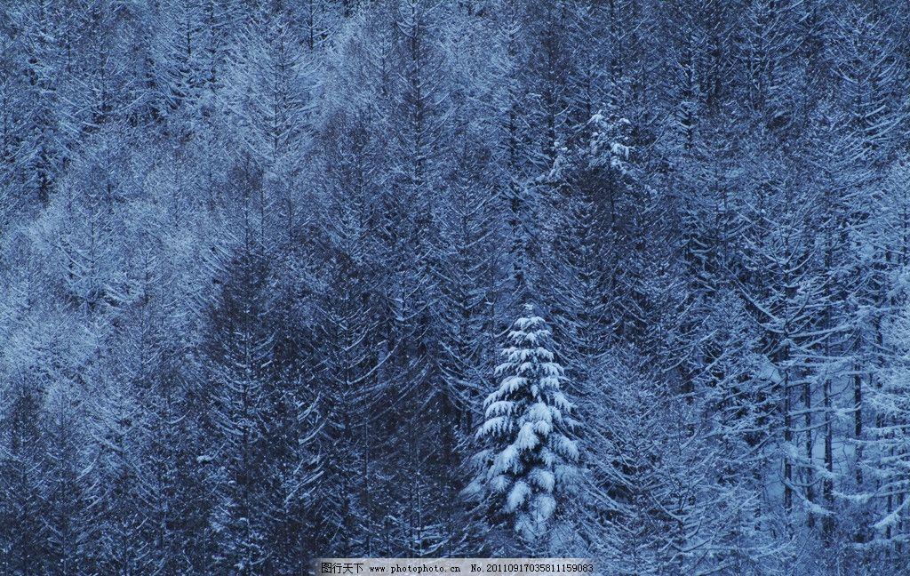 松树 白云 蓝天 雪景 雪地 冬季 冬天 自然风景 自然景观 树木树叶