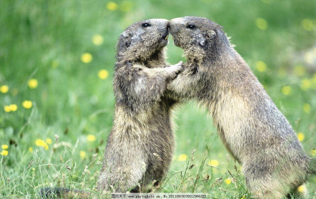 田鼠 鼠类 生物世界 鼹鼠 水獭 野生动物 摄影