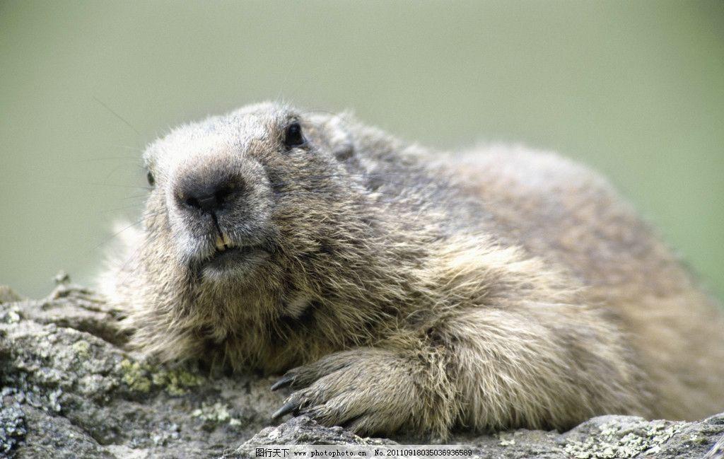 鼹鼠 田鼠 鼠类 水獭 生物世界 野生动物 摄影 300dpi jpg