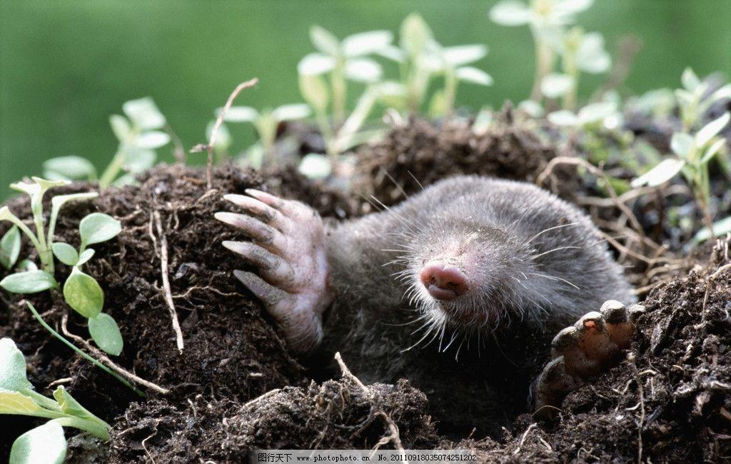 鼹鼠 田鼠 鼠类 生物世界 野生动物 摄影