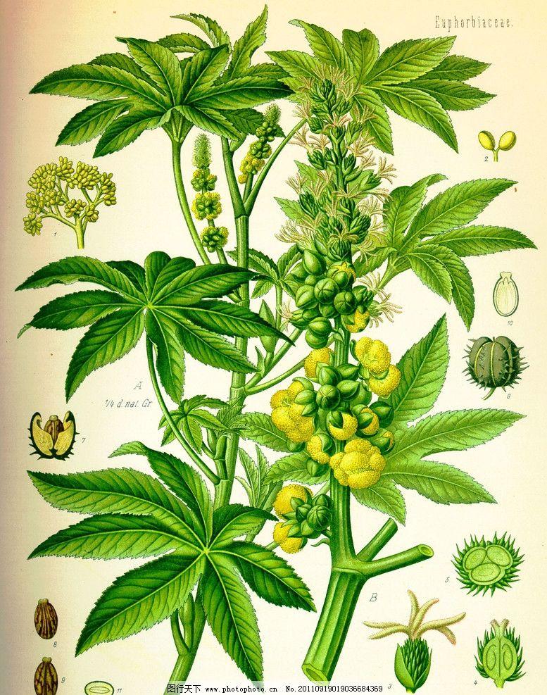 植物 中草药 草本 绿叶 花草 药材 设计素材 彩绘草本植物 植物分图解