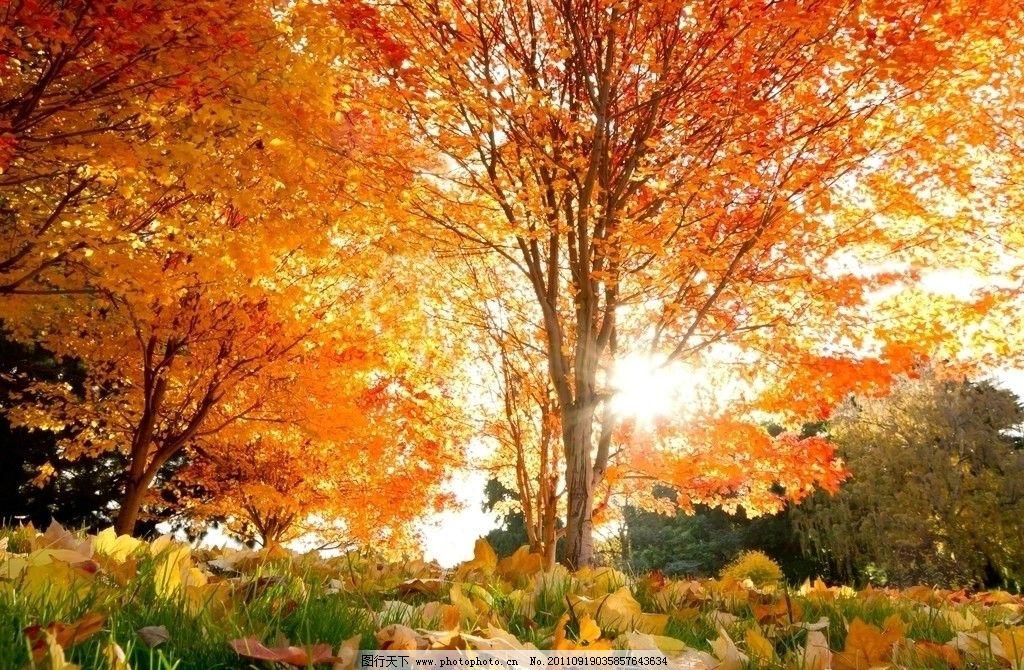 金秋 秋天 秋季 秋色 深秋 枫叶 树叶 落叶 树木 自然风景 树木树叶