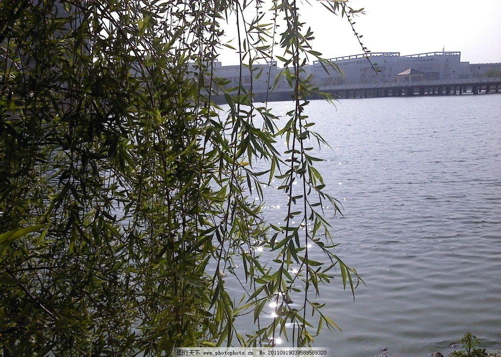 壁纸 垂柳 风景 柳树 摄影 树 桌面 1024_731