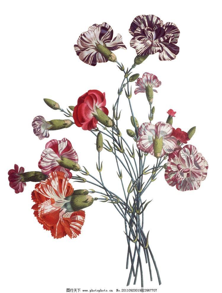 手绘康乃馨 手绘花卉花朵背景 植物 手绘植物 手绘 线描 花卉 花朵 花