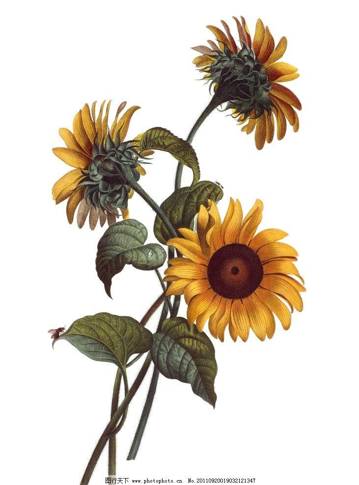 手绘向日葵 手绘花卉花朵背景 手绘 线描 花卉 花朵 花纹 叶子 花卉