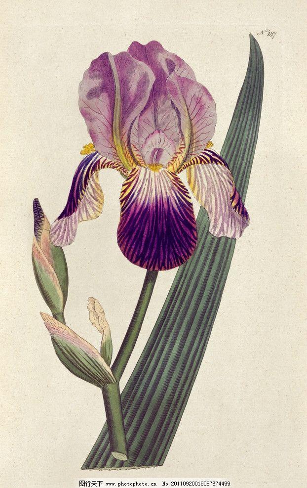 手绘兰花 兰花 手绘花卉花朵背景 手绘 线描 花卉 花朵 花纹 叶子