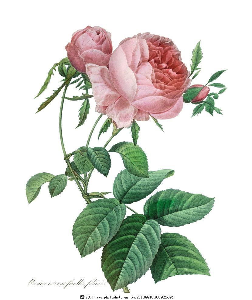 手绘月季 手绘花卉 手绘花纹花卉 植物 绿叶 手绘植物 植物标本