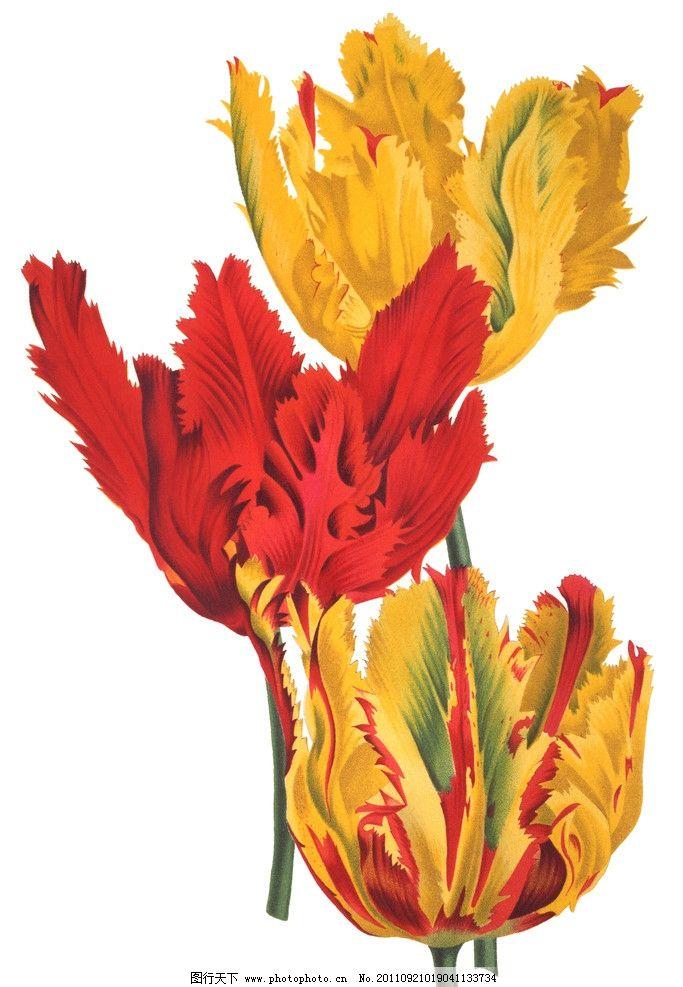 手绘木槿花图片