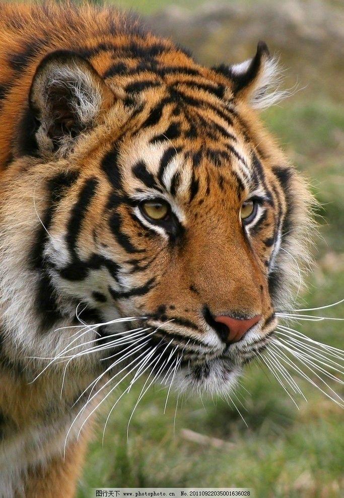 老虎图片_野生动物_生物世界
