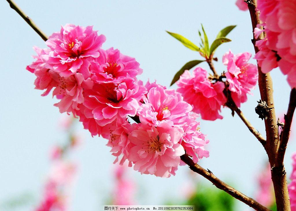 三月的桃花图片