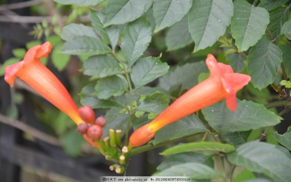 美洲凌霄 花卉 美国凌霄 花冠筒细长 漏斗状 橙红色 鲜红色 两朵 花卉