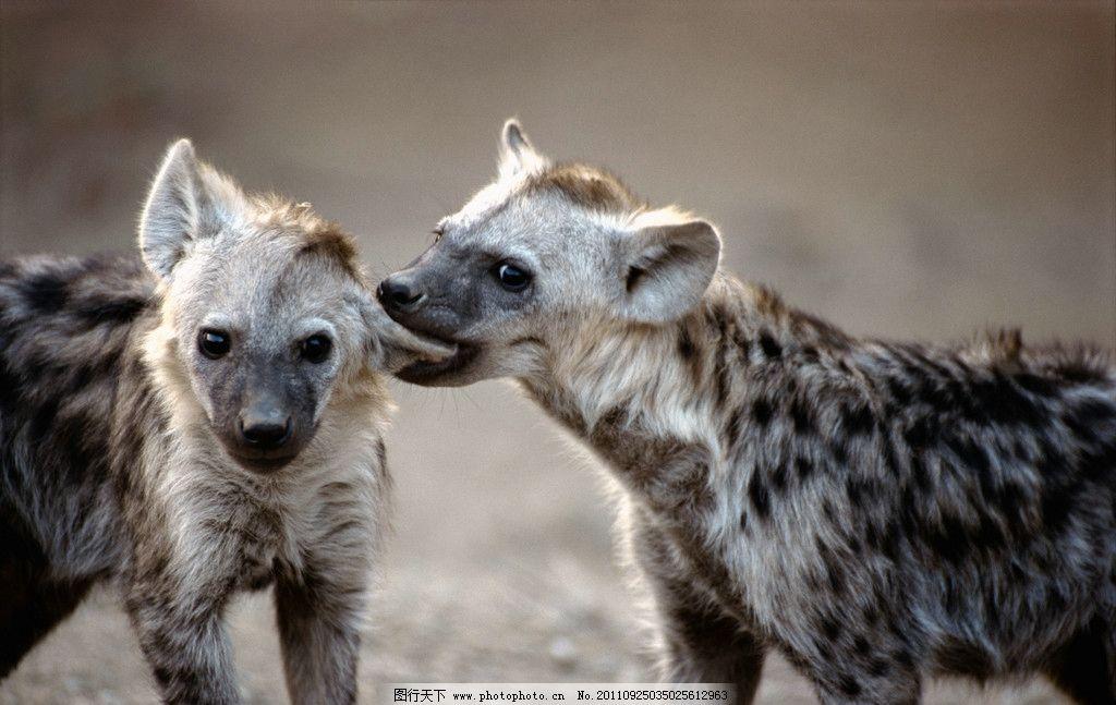 豺狼 咬耳朵 两只狼崽 动物世界 摄影