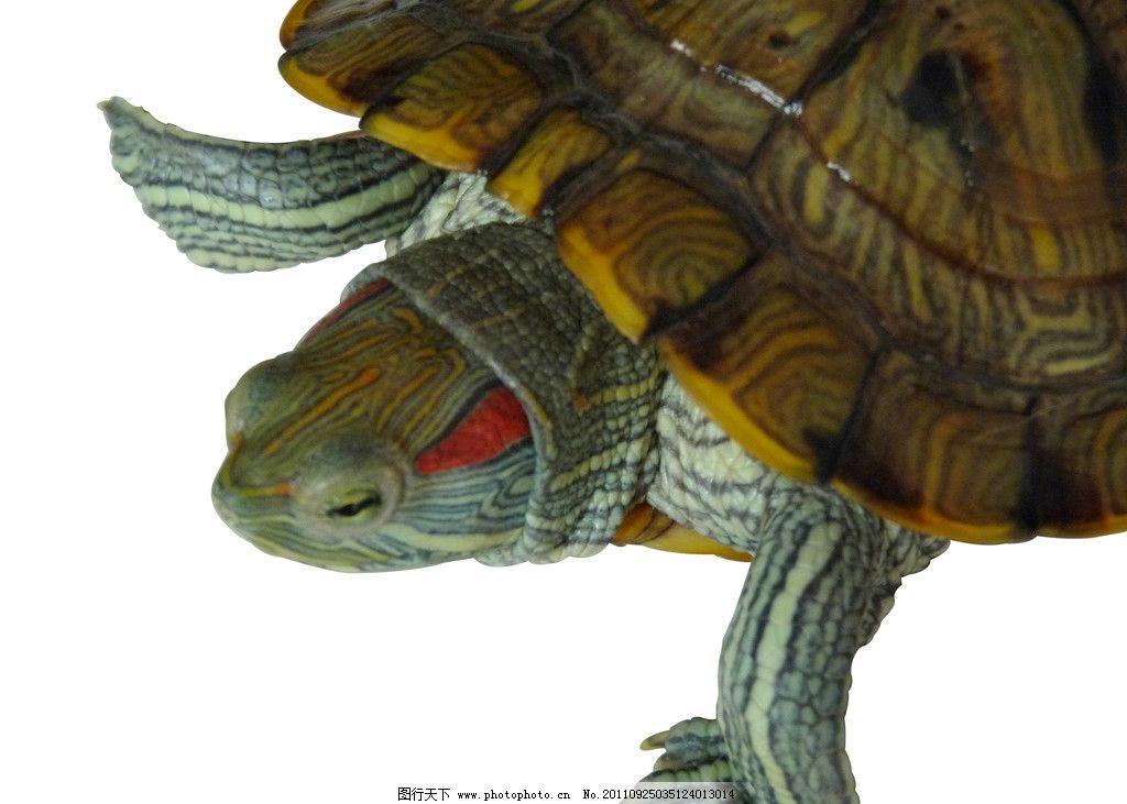 乌龟 眼睛 头像 两栖生物 摄影 海洋生物 生物世界