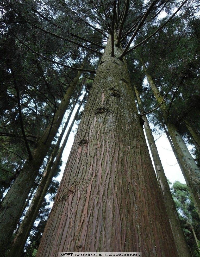 松柏 松树 树木树叶 生物世界 摄影 72dpi jpg