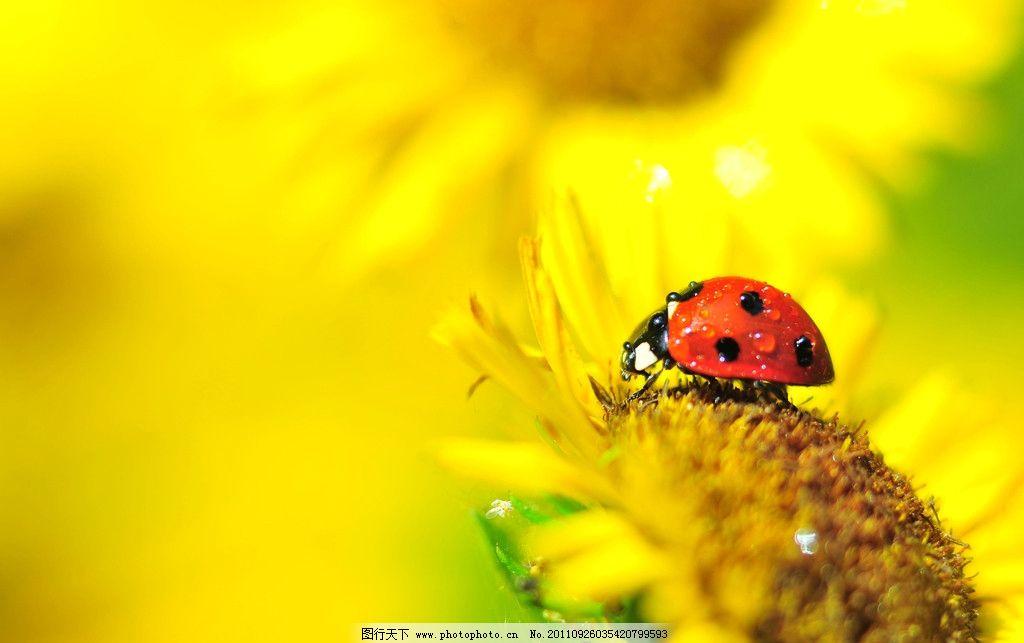 七星瓢虫 瓢虫 红色昆虫 昆虫 向日葵 野生动物 生物 自然 节肢动物