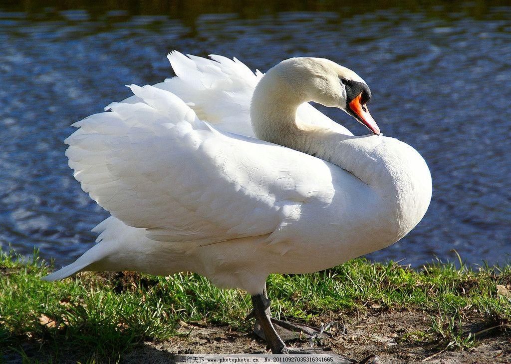 摄影图库 生物世界 鸟类  天鹅 白天鹅 鸟类 动物世界 动物摄影 高清