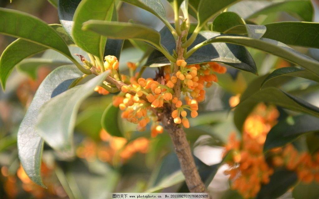 桂花 花卉 木犀 金桂 岩桂 花簇生于叶腋 花小 一枝 数十朵 橙红 花卉