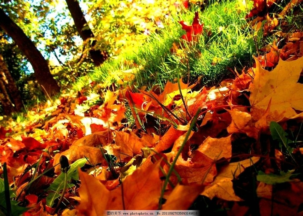 金秋 枫树 红枫叶 枯叶 红叶 落叶 秋季 秋天 秋叶 自然风光 自然风景