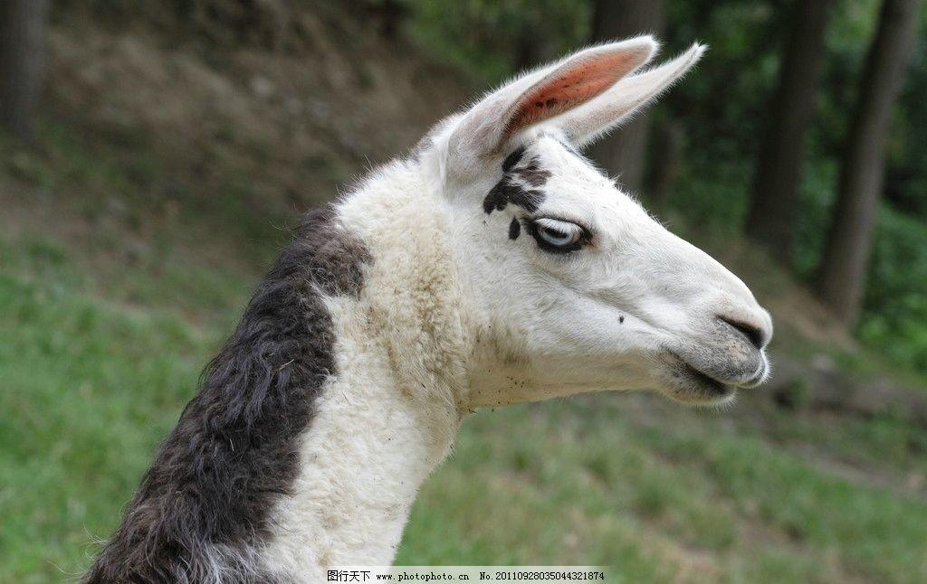 羊驼 小羊 生物 野生 动物 宠物 头部 特写 野生动物 生物世界 摄影