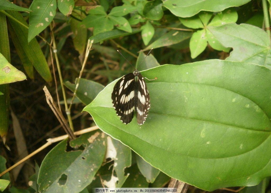 蝴蝶 蝶类 蝶 昆虫 节肢动物 生态 自然界 生物 动物 环境 高清野生