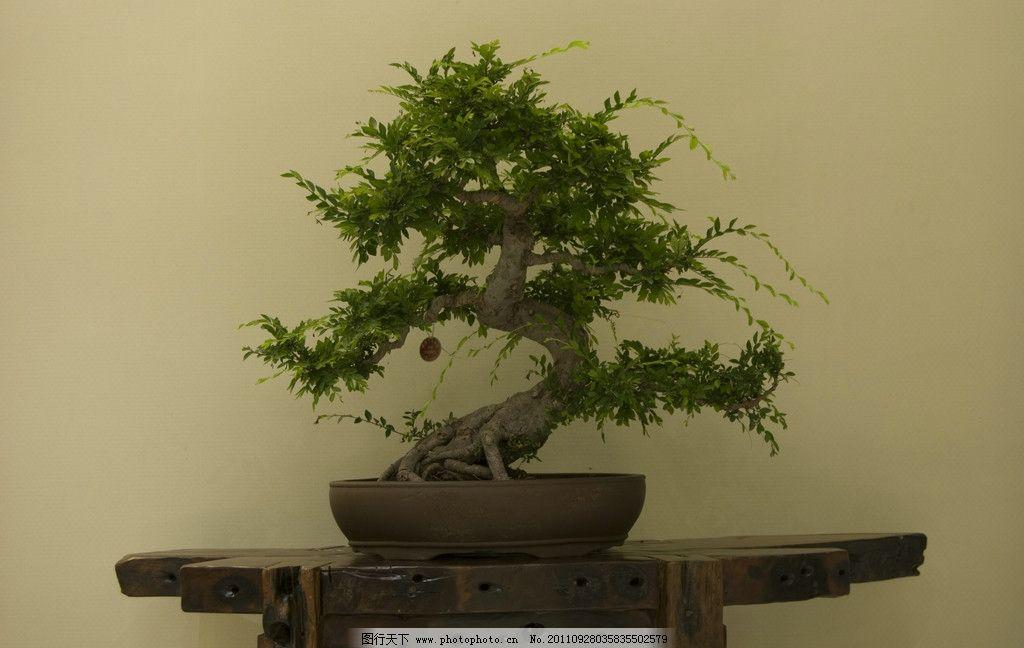 室内观赏树 古色 盆景 树木树叶 生物世界 摄影 240dpi jpg