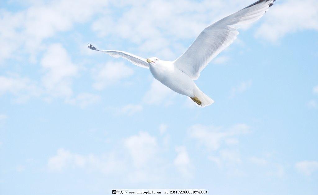 海鸥 海鸥图片免费下载 翅膀 飞翔 鸟类 摄影 生物世界 天空