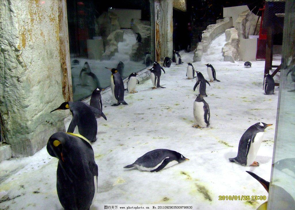 企鹅 动物 动物园 雪 冰山 冰山上的主人 一级保护动物 摄影 旅游