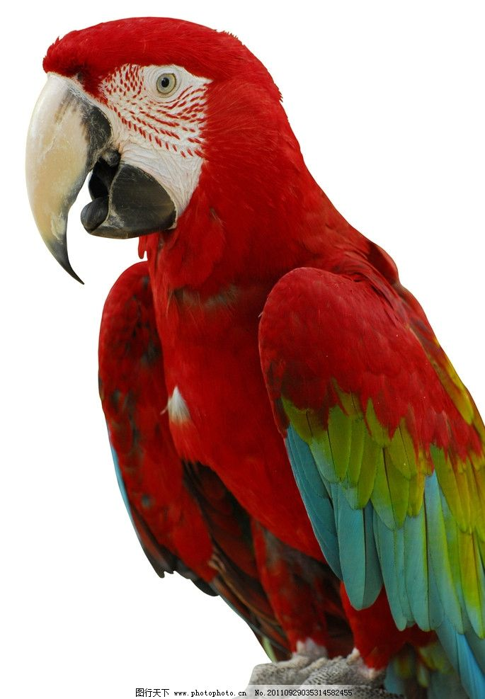 鹦鹉 巴哥 parrots 生物世界 野生动物 鸟类 摄影 300dpi jpg