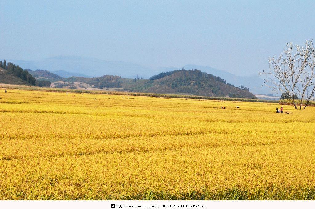 丰收稻田图片